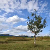 2019年の台風19号の後、千曲川の決壊箇所付近では、多くの農家が堤防より千曲川側にある折れたリンゴの樹を処分した。跡地には雑草が生える中、津野地区の畑にわずかにリンゴの木が残っていた=長野市津野地区で2020年10月6日午後2時21分、滝川大貴撮影