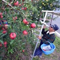 千曲川決壊箇所近くでリンゴを収穫する農家=長野市穂保で2020年10月11日午後1時48分、滝川大貴撮影