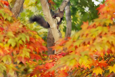 紅葉した木々の間を動き回りながらエサを探すエゾリス=北海道中札内村で2020年10月13日、貝塚太一撮影