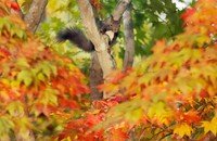 A Hokkaido squirrel is seen moving around trees whose leaves have turned red and yellow as it searches for food in the village of Nakasatsunai, Hokkaido, on Oct. 13, 2020. (Mainichi/Taichi Kaizuka)