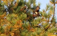 A Hokkaido squirrel is seen eating food in a pine tree in the village of Nakasatsunai, Hokkaido, on Oct. 13, 2020. (Mainichi/Taichi Kaizuka)