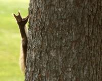 A Hokkaido squirrel is seen looking at a photographer from a pine tree in the village of Nakasatsunai, Hokkaido, on Oct. 13, 2020. (Mainichi/Taichi Kaizuka)