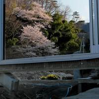 壊れた佐久間さん宅の前で咲いた桜。五福谷川沿いの桜並木も流されたり、枯れたりしてしまった。4月に修理完了した集会所では、被災以来初めて集まって再建を祝う「花見」をするはずだったが、新型コロナ禍で自粛した=宮城県丸森町で2020年4月5日、和田大典撮影