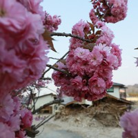 五福谷地区の集会所前で咲いたヤエザクラ=宮城県丸森町で2020年4月29日、和田大典撮影