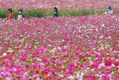 秋の生駒高原で咲き競う約100万本のコスモス=宮崎県小林市南西方で2020年10月15日、上入来尚撮影
