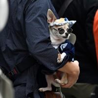 雷門付近で神輿を待つ人の手に抱えられた、お祭り仕様の姿に身を包んだ犬=東京都台東区で2020年10月18日、滝川大貴撮影