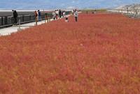 Red Suaeda japonica flowers are seen in the southwestern Japan city of Saga on Oct. 10, 2020. (Mainichi/Kimiya Tanabe)