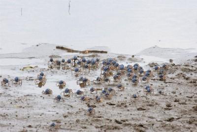 干潟を集団で移動するミナミコメツキガニ。青い甲羅が目を引く=鹿児島県奄美市住用町で2020年10月15日午後1時16分、神田和明撮影