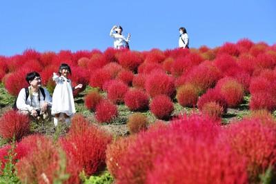 秋晴れの下、真っ赤に色づいたコキア=滋賀県高島市で、望月亮一撮影