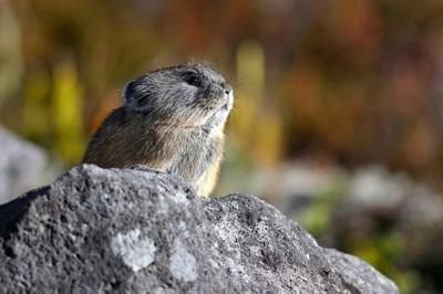 巣穴から出て辺りをうかがうエゾナキウサギ=北海道鹿追町で2020年10月17日、貝塚太一撮影
