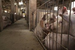 中国の豚肉需要急増は飼料となる穀物の価格も押し上げる(Bloomberg)