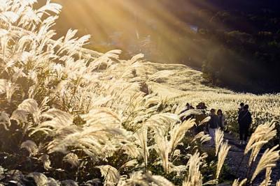 夕日に照らされ黄金色に染まる仙石原すすき草原のススキ=神奈川県箱根町で2020年10月24日、滝川大貴撮影