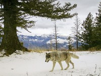 In this Dec. 4, 2014, file photo, released by the Oregon Department of Fish and Wildlife, a wolf from the Snake River Pack passes by a remote camera in eastern Wallowa County, Ore. (Oregon Department of Fish and Wildlife via AP)