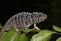 This photo taken on March 12, 2020 and provided by the Staatliche Naturwissenschftliche Sammlung Bayerns, SNSB, shows a Voeltzkow-Chameleon in Madagascar. (SNSB/Frank Glaw via AP)