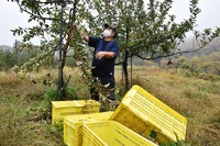 This Nov. 2, 2020 photo shows Shin Fujinuma, an apple producer, in an orchard in Shiwa, Iwate Prefecture, where 6,000 apples were stolen. Containers that appear to have been climbed on as stools are seen in the foreground. (Mainichi/Yutaka Yamada)