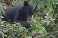 This photo provided by the Fukui Prefectural Government shows an Asian black bear.