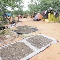 食用昆虫の採集者のキャンプ。採集地に1~3週間ほど泊まり込み、採集と加工をおこなう=南アフリカで、伊丹市昆虫館提供