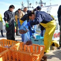震災後、初めて水揚げされたマダコを仕分ける漁業者たち=福島県相馬市の松川浦漁港で2014年11月20日午前9時5分、高橋隆輔撮影