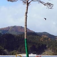 根の先端が塩分を含んだ水につかって腐り、回復が厳しい状態となっている高田松原の一本松=岩手県陸前高田市で2011年11月22日午前11時25分、小松雄介撮影