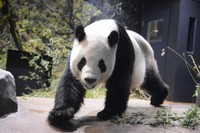 Giant panda Ri Ri is seen in this photo provided by the Tokyo Zoological Park Society.