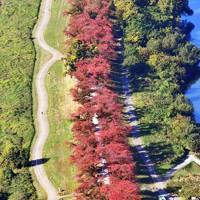 桜の葉の紅葉が赤い帯のように広がる背割堤=京都府八幡市で、本社ヘリから加古信志撮影