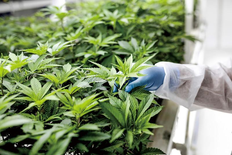 大麻合法化で経済効果も期待される (Bloomberg)