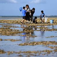 干潮時に海面に出るイノーで、カニなどの生き物を探して遊ぶ家族連れ=沖縄県浦添市で2020年11月、徳野仁子撮影