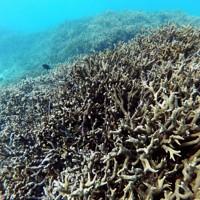 埋め立て予定地に広がるサンゴの群落=沖縄県浦添市で2020年11月、徳野仁子撮影