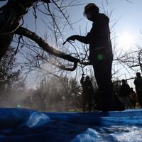果樹園で高圧洗浄機を使い樹皮の除染をする農協職員=福島市で2011年11月23日午前10時、小出洋平撮影