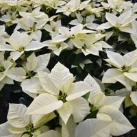 ガラホワイト=熊本県山鹿市で2020年11月24日、田鍋公也撮影