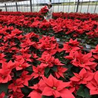 クリスマスに向け出荷のピークを迎えたポインセチア=熊本県山鹿市で2020年11月24日、田鍋公也撮影