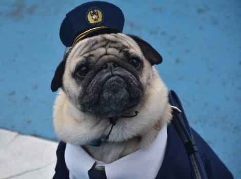 In Photos: Popular pug dog becomes face of Japan police station campaign