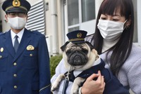 Pug dog Taro Tanaka is seen at a ceremony to mark his appointment as the face of a campaign against traffic accidents and crimes, at the Okayama Prefectural Police's Akaiwa Police Station in Okayama's Higashi Ward on Nov. 25, 2020. (Mainichi/Kazuki Iwamoto)