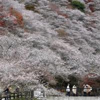 紅葉と共演する四季桜=愛知県豊田市の「川見四季桜の里」で2020年11月25日、兵藤公治撮影