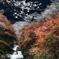 紅葉との共演が美しい見ごろを迎えた四季桜=愛知県豊田市小原地区の柿ケ入遊歩道で2020年11月25日、兵藤公治撮影