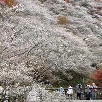 山肌を淡い紅色に染める見ごろを迎えた四季桜=愛知県豊田市小原地区の川見四季桜の里で2020年11月25日、兵藤公治撮影