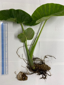 A night-scented lily plant which was collected by a public health center after a woman reported food poisoning symptoms is shown in this photo provided by the Kumamoto Prefectural Government.