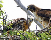This June 5, 2009, file photo shows a Redtail hawk feeding a snake to one of her young ones nested at the Rocky Mountain Wildlife Refuge in Commerce City, Colo. (AP Photo/Ed Andrieski)