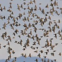 空を飛び回るアトリの群れ=長崎県諫早市で2020年11月29日、須賀川理撮影