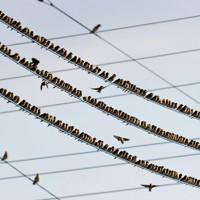 電線で羽を休めるアトリ=長崎県諫早市で2020年11月29日、須賀川理撮影