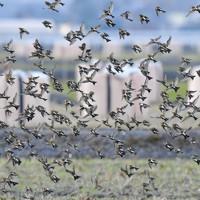 一斉に飛び立つアトリの群れ=長崎県諫早市で2020年11月29日、須賀川理撮影