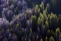 This Aug. 1, 2011 file photo, shows whitebark pines that have succumbed to mountain pine beetles through the Gros Ventre area east of Jackson Hole, Wyo. (Rick Egan/The Salt Lake Tribune via AP)