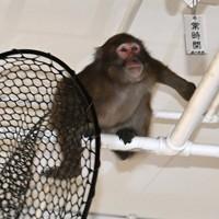 捕獲用の網をかわし福岡市役所の地下駐車場を逃げ回るサル=福岡市中央区で2020年12月3日午後2時57分、徳野仁子撮影