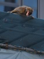 A monkey is seen weighing its options at the Tenjin shopping area in Chuo Ward, Fukuoka, on Dec. 3, 2020. (Mainichi/Minoru Kanazawa)