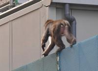 A monkey is seen on the move in the Tenjin shopping area in Chuo Ward, Fukuoka, on Dec. 3, 2020. (Mainichi/Minoru Kanazawa)