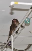 The monkey, who entered a parking lot of the Fukuoka Municipal Government office, is seen swinging about on pipes on the ceiling, on Dec. 3, 2020 in Chuo Ward, Fukuoka. (Mainichi/Minoru Kanazawa)