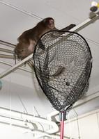 The monkey is seen eluding nets while bounding about in a car park in the Fukuoka Municipal Government office, in Chuo Ward, Fukuoka, on Dec. 3, 2020. (Mainichi/Minoru Kanazawa)