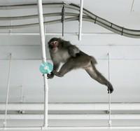 The monkey is seen stretching between bars in an underground car park at the Fukuoka Municipal Government office, in Chuo Ward, Fukuoka, on Dec. 3, 2020. (Mainichi/Osamu Sukagawa)