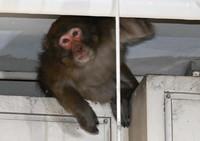 The monkey is seen peeking between bars in an underground car park at the Fukuoka Municipal Government office, in Chuo Ward, Fukuoka, on Dec. 3, 2020. (Mainichi/Noriko Tokuno)