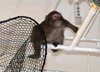 The monkey is seen avoiding a net in an underground car park at the Fukuoka Municipal Government office, in Chuo Ward, Fukuoka, on Dec. 3, 2020. (Mainichi/Noriko Tokuno)